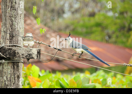 White-throated Magpie-Jay sitting on old power lines - Stock Photo