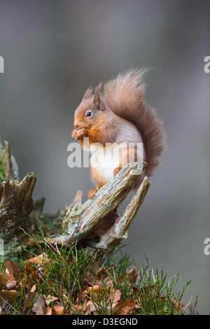 Red squirrel (Sciurus vulgaris) sitting on a tree stump while feeding, soft-focus grey background, Scottish Highlands - Stock Photo