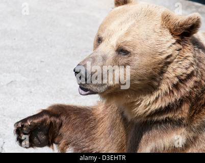 Brown bear greets with paw. Ursus arctos arctos. - Stock Photo
