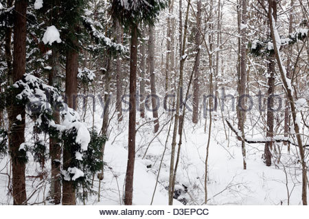 woods tree branches covered with snow - Stock Photo