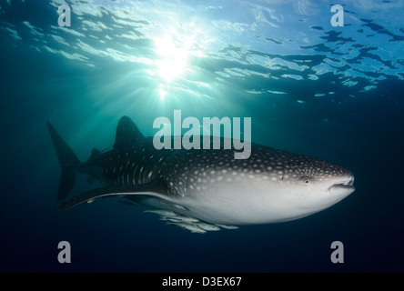 A whale shark (Rhincodon typus), near the surface as the evening sun descends, sending shafts of light over the - Stock Photo