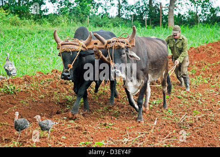 Cuban farmer ploughing field with traditional plough pulled by oxen on tobacco plantation in the Viñales Valley, - Stock Photo