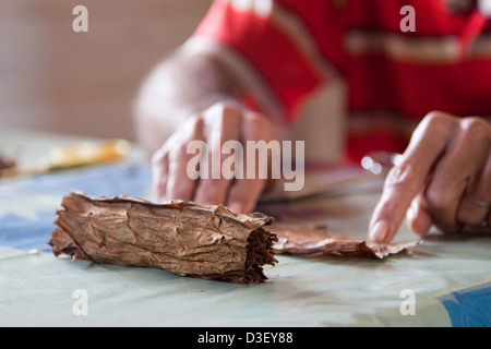 Cigar maker making a hand rolled cuban cigar from a bundle of dried tobacco leaves, Viñales, Cuba, Caribbean - Stock Photo