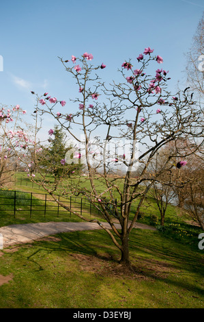 MAGNOLIA CAERHAYS BELLE AT BATSFORD ARBORETUM - Stock Photo