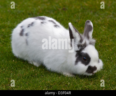 Spotted White Lionhead Cross Rabbit - Stock Photo