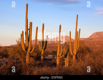 A stand of saguaro cactus in Catalina State Park, Arizona, USA - Stock Photo