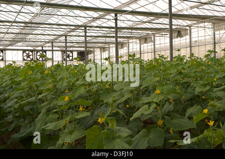 Tomato plants flower inside the glasshouses of the Abu Dhabi Organic Farm - Stock Photo