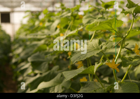Tomato plants flower inside the glasshouses of the Abu Dhabi Organic Farm - Stock Photo