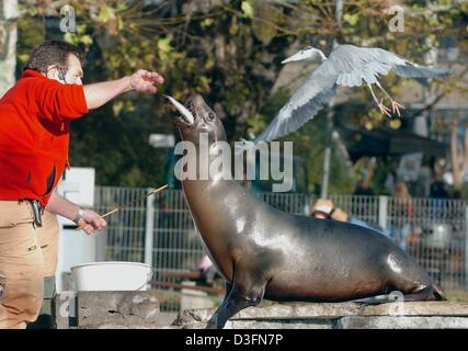 (dpa) - A sea lion gets raw fish for lunch from an animal trainer at the Wilhelma animal park in Stuttgart, Germany, - Stock Photo