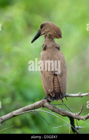 Hamerkop (Scopus umbretta), Meru National Park, Kenya - Stock Photo