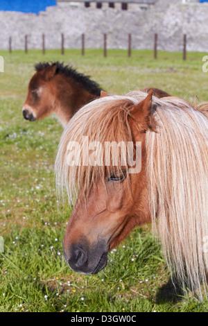 Shetland pony portrait - Stock Photo