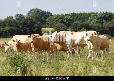 Herd of Limousin cattle Bos primigenius taurus on meadow, Lower Saxony, Germany - Stock Photo