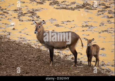 Defassa waterbuck with young (Kobus ellipsiprymnus defassa), Mount Kenya National Park, Kenya - Stock Photo