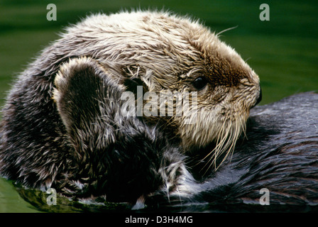 sea otter, Enhydra lutris with paw up swimming, Oregon - Stock Photo