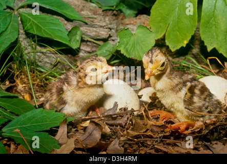 Two newly hatched wild baby turkeys (poults) in summer garden hiding among the flowers - Stock Photo
