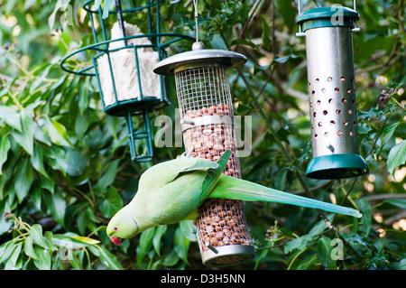Male ring-necked parakeet (Psittacula krameri) on bird feeder in a south London garden. - Stock Photo