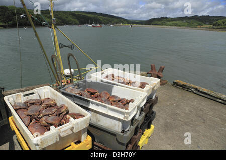 Freshly caught and landed Brown Crab (Latin: Cancer pagurus), also known as the edible crab, in west Cork, Republic - Stock Photo