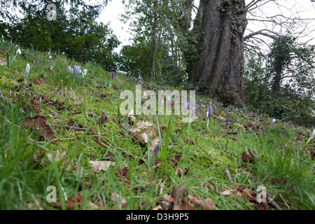 Crocus flowers growing in the grass under a tree at Charles Darwin garden home The Mount in Shrewsbury, Shropshire, - Stock Photo