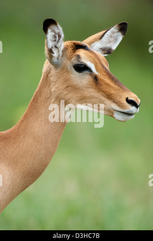 Impala (Aepyceros melampus), Lake Nakuru National Park, Kenya - Stock Photo