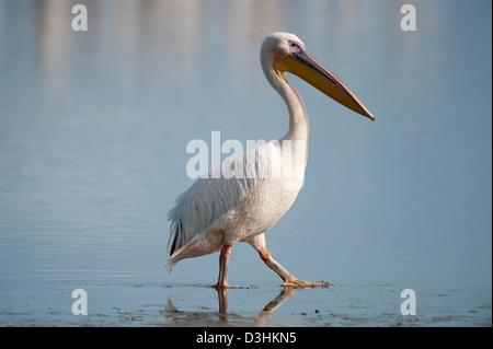Great White Pelican, Pelecanus onocrotalus, Lake Nakuru National Park, Kenya - Stock Photo