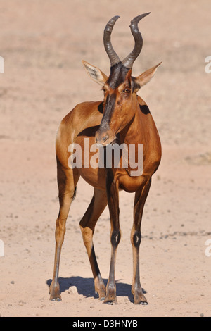 Red hartebeest (Alcelaphus buselaphus), adult, Kgalagadi Transfrontier Park, Northern Cape, South Africa, Africa - Stock Photo