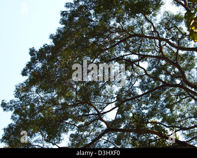 Branches and leaves Monkey Pod Tree. - Stock Photo