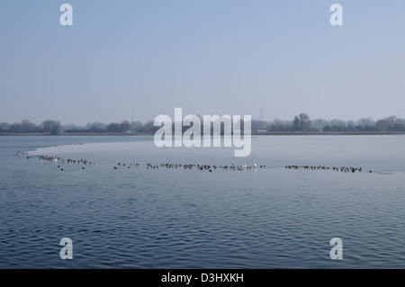 lots of waterfowl, swans, ducks and geese at an island of ice on a lake in winter, Ismaning, Germany - Stock Photo