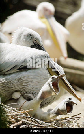 (dpa) - Two young dalmatian pelicans rip open the peckers in the nest in the Zoo Berlin, Germany, Tuesday 28 June - Stock Photo