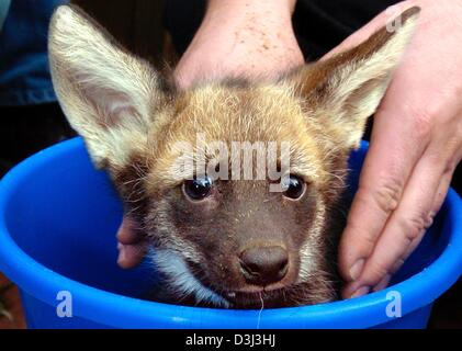 (dpa) - With its eyes wide open the baby mane wolf Jefa looks out from a bucket in the zoo in Frankfurt, Germany, - Stock Photo