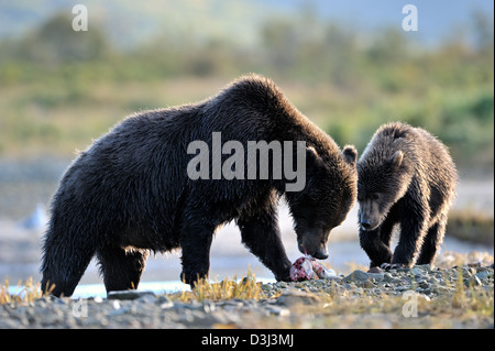 Grizzly Bear mother with cub eating a caught salmon. - Stock Photo