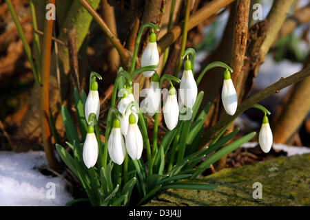 (dpa file) - The picture, dated 25 February 2005, shows snowdrops in Frankfurt Main, Germany. - Stock Photo