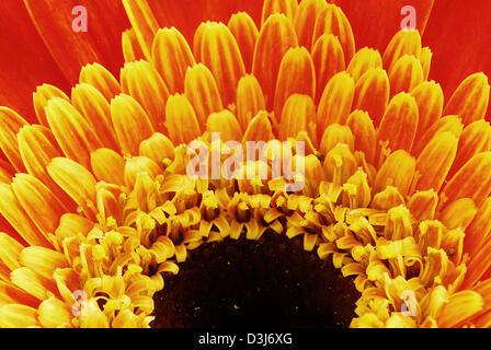 Super macro shot of orange gerbera flower petals - Stock Photo