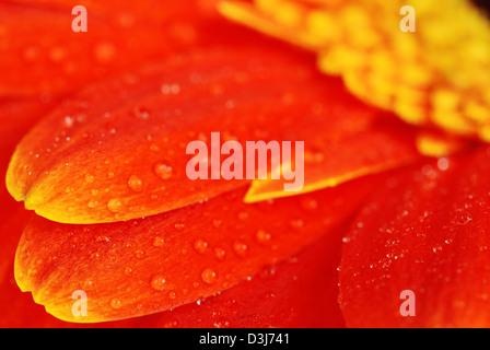 Super macro shot of orange gerbera flower petals with dew - shallow depth of field - Stock Photo