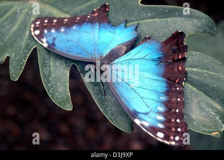 (dpa) - An exhotic blue morpho (morpho peleides) rests on a leaf with spread wings at the butterfly house in Jonsdorf, - Stock Photo