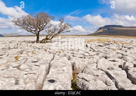 Tree growing through the Limestone Pavement at White Scars Ingleborough, Yorkshire Dales , England, GB, UK, EU, - Stock Photo