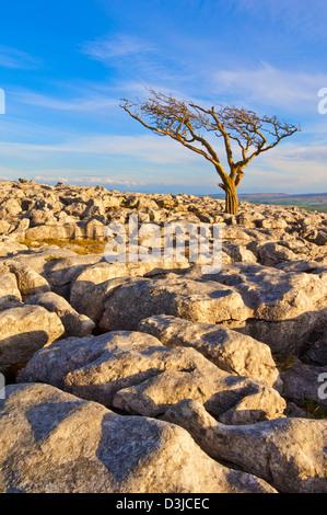 Tree growing through the Limestone Pavement at Twistleton Scars, Yorkshire Dales, England, GB, UK, EU, Europe - Stock Photo