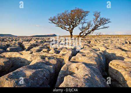 Tree growing through the Limestone Pavement at White Scars, Yorkshire Dales, England, GB, UK, EU, Europe - Stock Photo