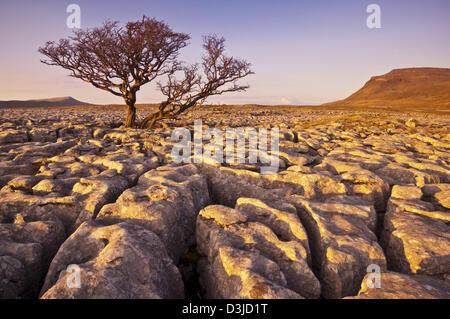 Tree growing through the Limestone Pavement at White Scars Ingleborough Yorkshire Dales, England, GB, UK, EU, Europe - Stock Photo