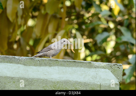 beautiful female blue rock thrush (Monticola solitarius) standing on roof top - Stock Photo