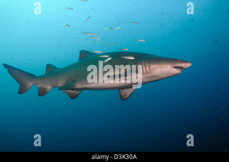Sand tiger shark swims in blue water off coast of North Carolina. - Stock Photo