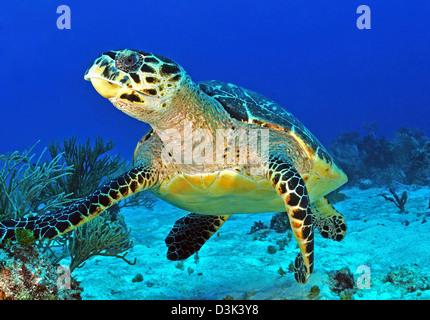 Hawskbill turtle on caribbean reef. - Stock Photo
