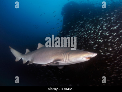 Sand Tiger shark swims by the wreck of USCGC Spar off coast of North Carolina. - Stock Photo