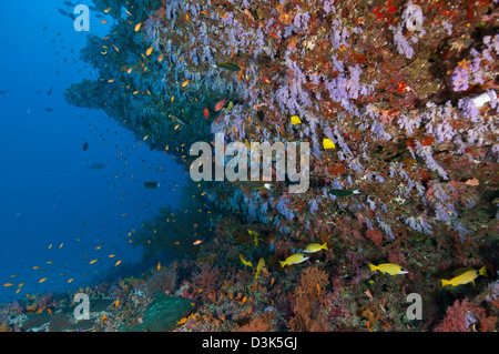 Colourful reef with purple and red hard and soft coral and orange anthias and blue-lined yellow snapper fish, Maldives. - Stock Photo