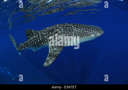 Whale shark reflected on surface with scuba diver in the distance, Christmas Island, Australia. - Stock Photo