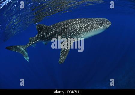 Whale shark near surface with sun rays, Christmas Island, Australia. - Stock Photo