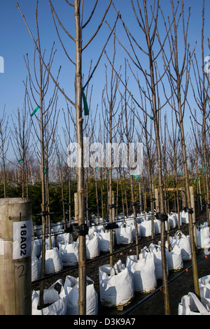 Container grown Sorbus Rossica Major for sale at J Jones Nursery in Southport, Merseyside, UK - Stock Photo