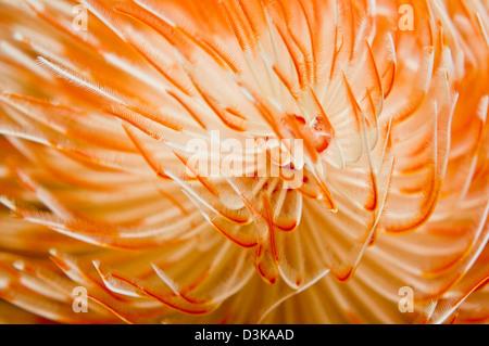 Detail view of an orange and white christmas-tree tube worm, Komodo, Indonesia. - Stock Photo