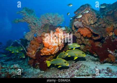 Orange soft coral, yellow gorgonian sea fan and yellow and blue striped sweeltip fish, Komodo, Indonesia. - Stock Photo