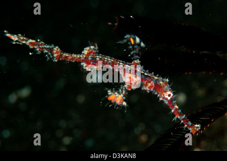 Transparent white and red harlequin ghost pipefish, Lembeh Strait, North Sulawesi, Indonesia. - Stock Photo