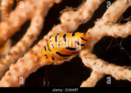 Yellow and black striped tiger cowrie on yellow sea fan, Bali, Indonesia. - Stock Photo
